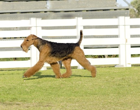 airedale terrier dog: A profile view of a black and tan Airedale Terrier dog walking on the grass, looking happy. It is known as the king of terriers as it is the largest breed of terriers and for being very intelligent, independent, strong-minded, stoic, and sometimes stubbor