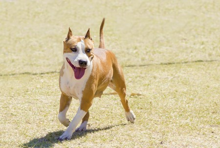 A small, young, beautiful, white and red sable American Staffordshire Terrier walking on the lawn while sticking its tongue out and looking playful and cheerful. Its ears are cropped. Stock Photo