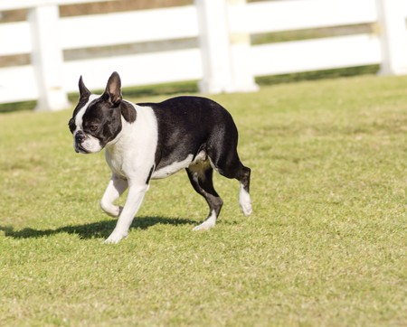 boston bull terrier: A small, young, beautiful, black and white Boston Terrier dog walking on the grass, aka Boston Bull. Boston Terriers are highly intelligent and easily trainable.