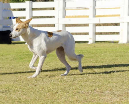 A young, beautiful, white and cream, brown, orange sable Canaan walking on the grass looking happy and playful. Kelef Knaani dogs are medium sized with erect ears, almond eyes, intelligent and very good watchdogs.