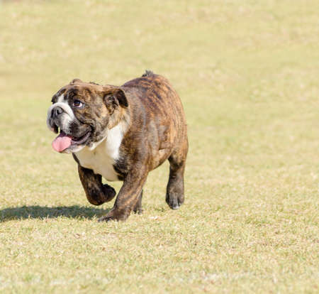 brindle: A small, young, beautiful, fawn brown brindle and white English Bulldog running on the lawn looking playful and cheerful. The Bulldog is a muscular, heavy dog with a wrinkled face and a distinctive pushed-in nose.