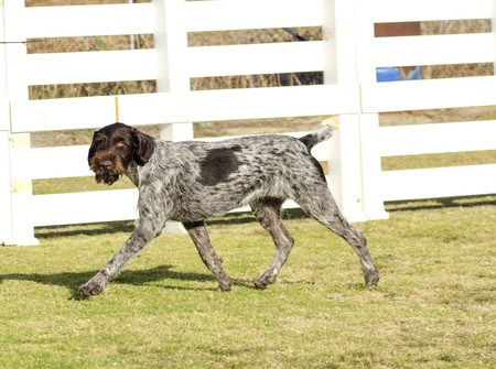 A young, beautiful, liver, black and white ticked German Wirehaired Pointer dog walking on the grass. The Drahthaar has a distinctive eyebrows, beard and whiskers and straight harsh wiry coat. photo