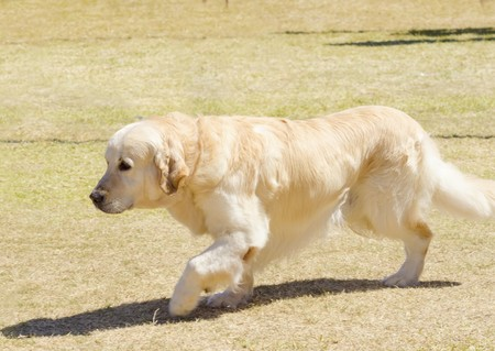 A young beautiful light golden retriever walking happily on the grass. Known for their intelligence, being very friendly and excellent guide dogs Stock Photo