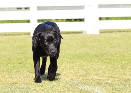 A portrait view of a young beautiful black labrador retriever puppy dog walking happily on the grass. Labs are very friendly, kind and pleasant and often used as guide dogs for the blind photo