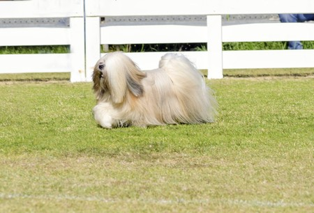 A profile view of a small young light tan, fawn, beige, gray and white Lhasa Apso dog with a long silky coat running on the grass. The long haired, bearded Lasa dog has heavy straight long coat and is a companion dog. photo