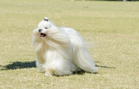 long silky hair: A view of a small, young and beautiful Maltese show dog with long white coat running on the grass. Maltese dogs have silky hair and are hypoallergenic.