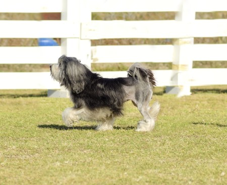 chien: A profile view of a black, gray and white petit chien lion (little lion dog) walking on the grass. Lowchen has a long wavy coat groomed to resemble a lion, i.e. the haunches, back legs and part of the tail are shaved.