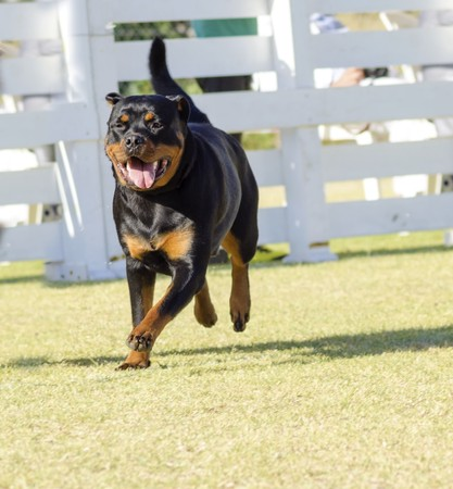 A portrait view of a healthy, robust and proudly looking Rottweiler running on the grass. Rotweillers are well known for being intelligent dogs and very good protectors. photo