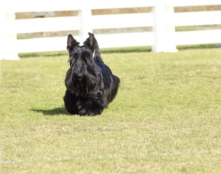 territorial: A view of a small, young and beautiful Scottish Terrier dog walking on the grass. Scottie dogs are compact, short legged, with wiry black coat, long head and small erect pointy ears, very territorial and feisty.