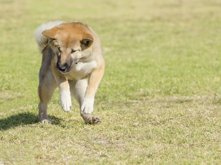 A portrait view of a young beautiful fawn, sesame brown Shiba Inu puppy dog standing on its back legs on the grass. Japanese Shiba Inu dogs are similar to Akita dogs only smaller and they look like a fox.