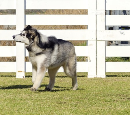 A profile view of a young beautiful black and white Siberian Husky puppy dog walking on the grass, known for their amazing endurance and willingness to work.They look like wolves. photo