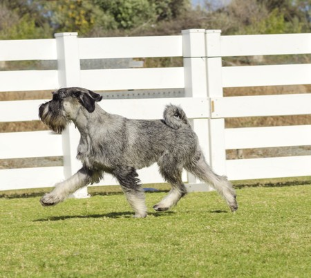 A young salt and pepper, gray Standard Schnauzer dog walking on the grass, looking very happy. It is known for being an intelligent, loving, and happy dog and distinctive for its beard and long, feathery eyebrows  photo