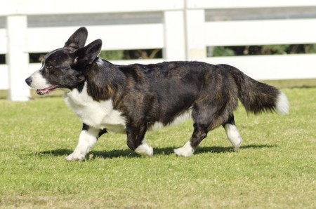 A young, healthy, beautiful, brindle, black, tan and white Welsh Corgi Cardigan dog with a long tail walking on the grass happily. The Welsh Corgi has short legs, long body, big erect ears and is a herding breed.