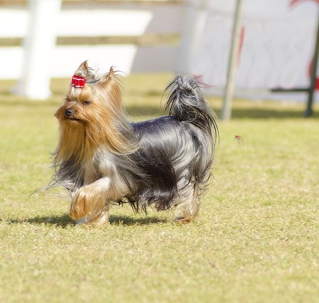 silky terrier: A small gray black and tan Yorkshire Terrier dog walking on the grass, with its head coat braided. The yorkie is a companion dog with glossy, fine, silky and straight hair with hypoallergenic coat.
