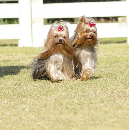 silky terrier: A portrait view of two small gray black and tan Yorkshire Terrier dog walking on the grass, with their head coat braided. The yorkie is a companion dog with glossy, fine, silky and straight hair with hypoallergenic coat.
