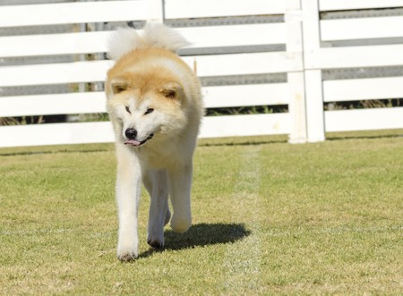 A portrait view of a young beautiful white and red Akita Inu dog walking on the grass. Japanese Akita dogs are distinctive for their oriental look and for being courageous.