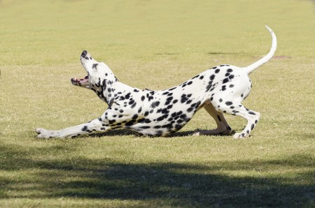A young beautiful Dalmatian dog stretching and yawning on the grass distinctive for its white and black spots on its coat and for being alert, active and an intelligent breed.