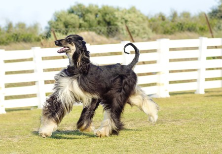 A profile view of a healthy beautiful grizzle, black and tan, Afghan Hound walking on the grass looking happy and cheerful. Persian Greyhound dogs are slim and slender with a long narrow head, long silky coat and curly tail. photo