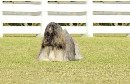 lap of luxury: A small young light tan, fawn, beige, gray and white Lhasa Apso dog with a long silky coat standing on the grass. The long haired, bearded Lasa dog has heavy straight long coat and is a companion dog.