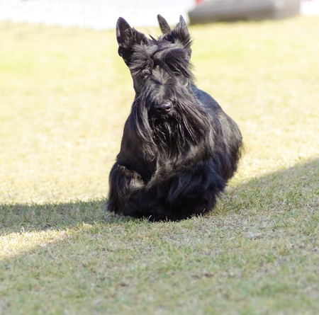erect: A view of a small, young and beautiful Scottish Terrier dog walking on the grass. Scottie dogs are compact, short legged, with wiry black coat, long head and small erect pointy ears, very territorial and feisty.