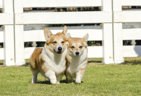 herder: Two young, healthy, beautiful, red sable and white Welsh Corgi Pembroke dogs with a docked tail walking on the grass happily. The Welsh Corgi has short legs, long body, big erect ears and is a herding breed.
