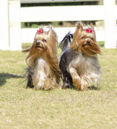 lap of luxury: A portrait view of two small gray black and tan Yorkshire Terrier dog walking on the grass, with their head coat braided. The yorkie is a companion dog with glossy, fine, silky and straight hair with hypoallergenic coat.