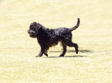 adventurous: A small young black Affenpinscher dog with a short shaggy wire coat walking on the grass. The Affie looks like a monkey and is an active, adventurous, curious, stubborn, fun-loving and playful breed.