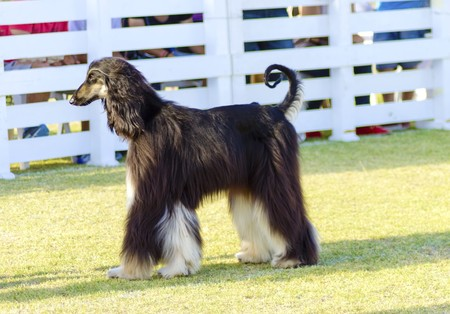 grizzle: A profile view of a healthy beautiful grizzle, black and tan, Afghan Hound standing on the grass looking happy and cheerful. Persian Greyhound dogs are slim and slender with a long narrow head, long silky coat and curly tail.