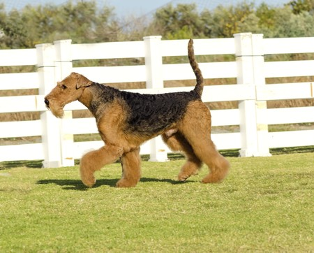 A profile view of a black and tan Airedale Terrier dog walking on the grass, looking happy. It is known as the king of terriers as it is the largest breed of terriers and for being very intelligent, independent, strong-minded, stoic, and sometimes stubbor