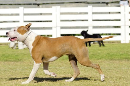 A small, young, beautiful, white and red sable American Staffordshire Terrier walking on the grass while sticking its tongue out and looking playful and cheerful. Its ears are cropped. photo