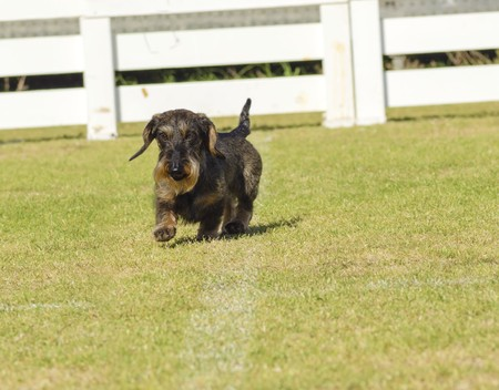 wirehaired: A young beautiful dapple black and tan Wirehaired Dachshund walking on the grass. The little hotdog dog is distinctive for being short legged with a long body, pointy nose and narrow build.
