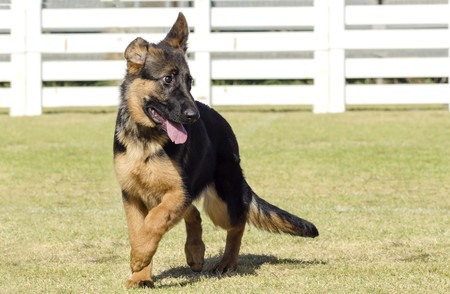A young, beautiful, black and tan German Shepherd Dog puppy walking on the grass while looking happy and playful. The Alsatian aka Berger Allemand, is a very good security dog often used by the police and military. photo