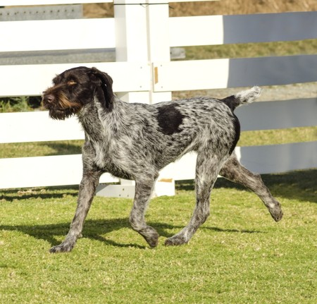 A young, beautiful, liver, black and white ticked German Wirehaired Pointer dog walking on the grass. The Drahthaar has a distinctive eyebrows, beard and whiskers and straight harsh wiry coat.