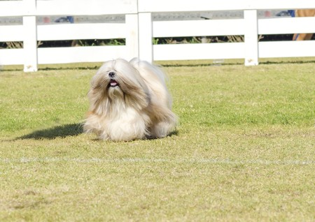 A portrait view of a small young light tan, fawn, beige, gray and white Lhasa Apso dog with a long silky coat running on the grass. The long haired, bearded Lasa dog has heavy straight long coat and is a companion dog. photo