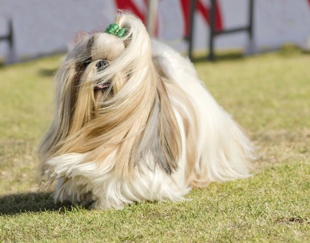 lap of luxury: A small young light brown, black and white tan Shih Tzu dog with a long silky coat and braided head coat running on the grass.