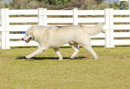 A profile view of a young beautiful copper red fawn and white Siberian Husky dog running, known for their amazing endurance and willingness to work.They look like wolves. photo