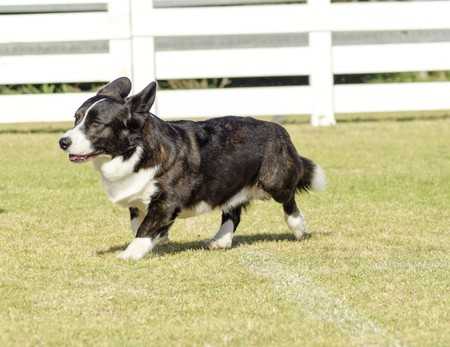 erect: A young, healthy, beautiful, brindle, black, tan and white Welsh Corgi Cardigan dog with a long tail walking on the grass happily. The Welsh Corgi has short legs, long body, big erect ears and is a herding breed.