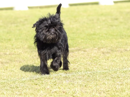 A small young black Affenpinscher dog with a short shaggy wire coat walking on the grass. The Affie looks like a monkey and is an active, adventurous, curious, stubborn, fun-loving and playful breed.