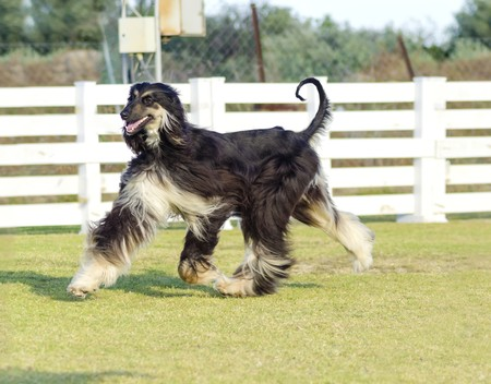 grizzle: A profile view of a healthy beautiful grizzle, black and tan, Afghan Hound running on the grass looking happy and cheerful. Persian Greyhound dogs are slim and slender with a long narrow head, long silky coat and curly tail.