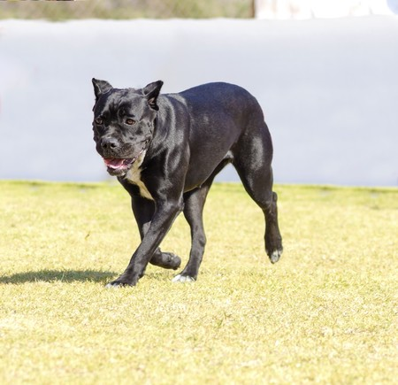 powerfully: A young, beautiful black and white medium sized Cane Corso dog with cropped  ears running on the grass. The Italian Mastiff is a powerfully built animal with great intelligence and a willingness to please. Stock Photo