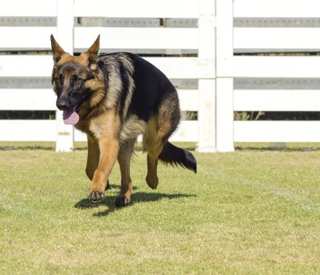 A young, beautiful, black and tan German Shepherd Dog walking on the grass while looking happy and playful. The Alsatian aka Berger Allemand, is a very good security dog often used by the police and military. photo
