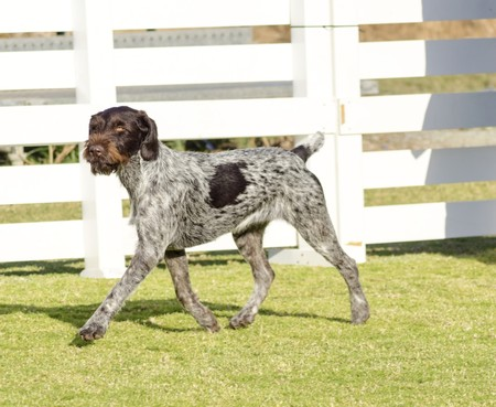 wirehaired: A young, beautiful, liver, black and white ticked German Wirehaired Pointer dog walking on the grass. The Drahthaar has a distinctive eyebrows, beard and whiskers and straight harsh wiry coat.