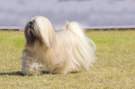 pure bred: A small young light tan, fawn, beige, gray and white Lhasa Apso dog with a long silky coat running on the grass. The long haired, bearded Lasa dog has heavy straight long coat and is a companion dog.