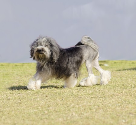 A profile view of a black, gray and white petit chien lion (little lion dog) walking on the grass. Lowchen has a long wavy coat groomed to resemble a lion, i.e. the haunches, back legs and part of the tail are shaved.
