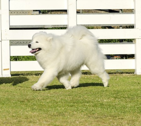 A young beautiful white fluffy Samoyed puppy dog walking on the grass. The Sammy dog looks like a white wolf but it is very gentle, sweet and often called Smiley Sami photo