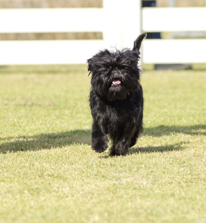 A small young black Affenpinscher dog with a short shaggy wire coat walking on the grass. The Affie looks like a monkey and is an active, adventurous, curious, stubborn, fun-loving and playful breed. photo