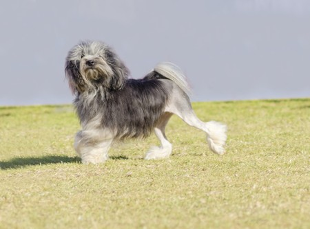 fluffy tuft: A profile view of a black, gray and white petit chien lion (little lion dog) walking on the grass. Lowchen has a long wavy coat groomed to resemble a lion, i.e. the haunches, back legs and part of the tail are shaved.