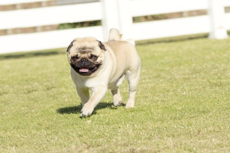 pug nose: A small, young, beautiful, fawn Pug with a wrinkly short muzzled face running on the lawn looking playful and cheerful. The chinese pug is a happy dog with deep wrinkles, round head and curled tail over the back.