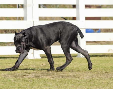 italian mastiff: A young, beautiful black and white medium sized Cane Corso dog with cropped  ears walking on the grass. The Italian Mastiff is a powerfully built animal with great intelligence and a willingness to please. Stock Photo