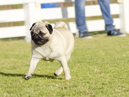 carlin: A small, young, beautiful, fawn Pug with a wrinkly short muzzled face running on the lawn looking playful and cheerful. The chinese pug is a happy dog with deep wrinkles, round head and curled tail over the back.